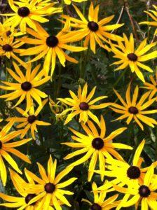 soløye blomster